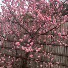 池上梅園の梅の花